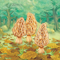 Morels sur Android